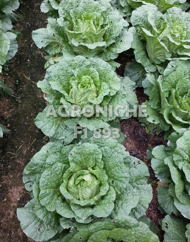 F1 893 CR Super (Chinese Cabbage)