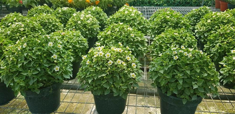 Exacum Outdoor Plant