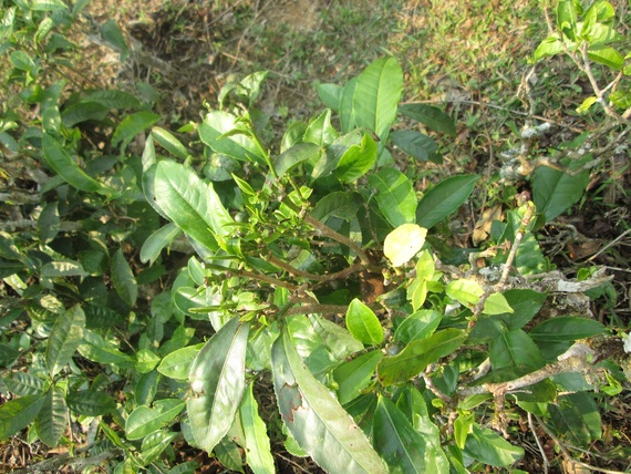 Tea plant bush 15 years old showing new leaf growth